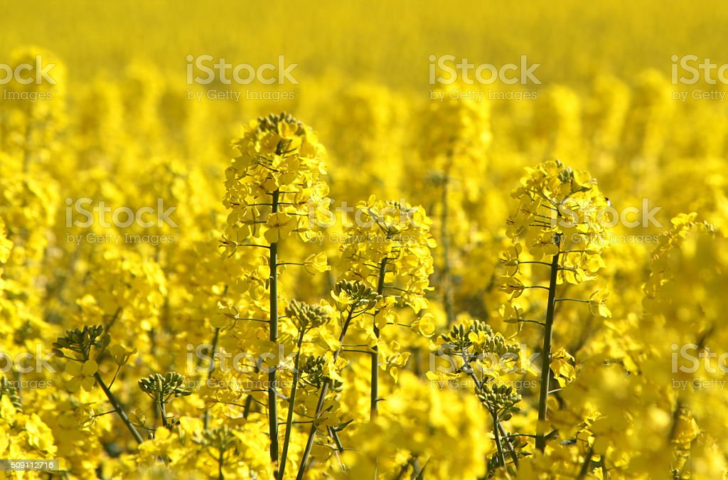 Canola fields or rapeseed plant stock photo