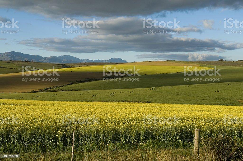 Canola fields, Western Cape stock photo