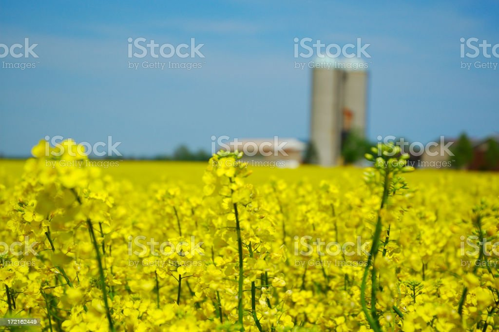 Canola fields with silos in the background royalty-free stock photo