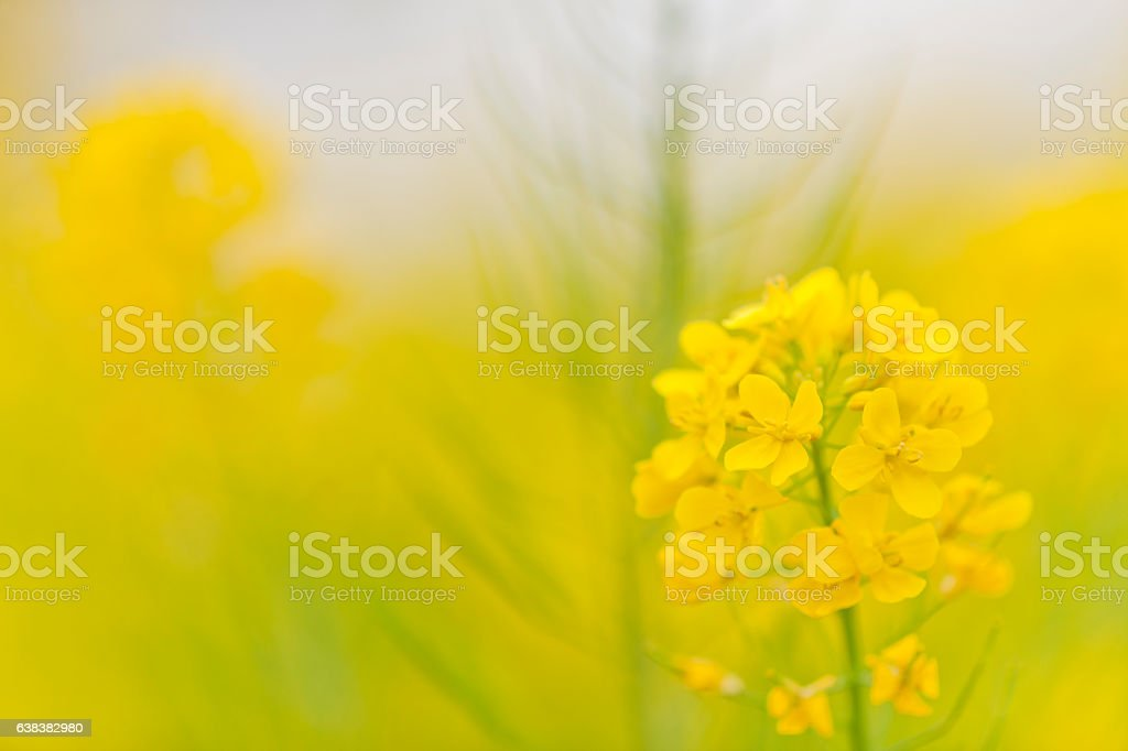 Canola Flower Close Up stock photo