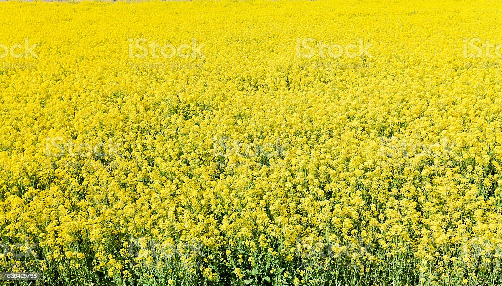 Canola Flower Field from Above stock photo