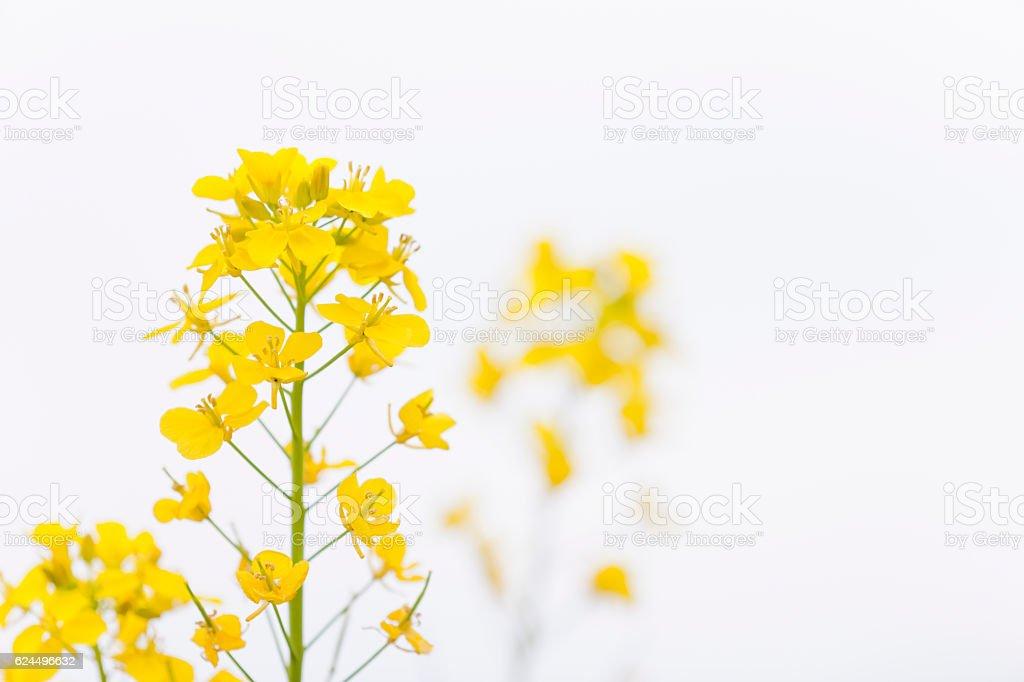 Canola Flower on White stock photo
