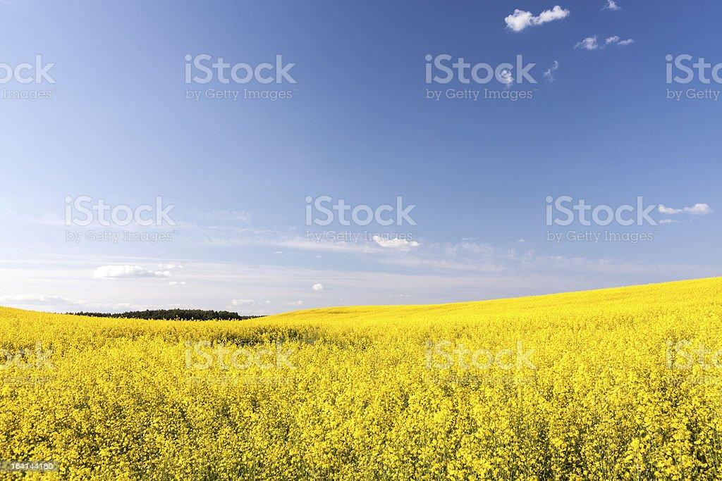Canola flower royalty-free stock photo