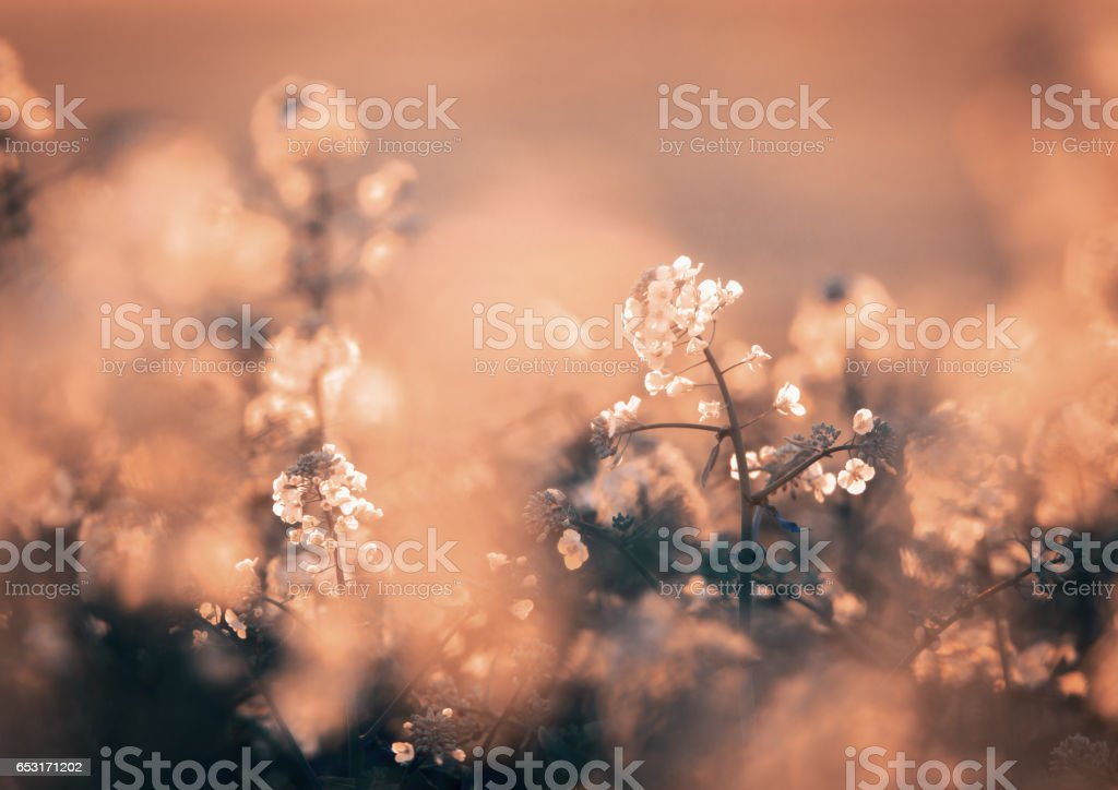 Canola flowers, colza. Rapeseed flowers on the field in spring. Blooming canola flowers close-up. . Rapeseed oil. Flowering rapeseed. Vintage toning, instagram style. Nature stock photo