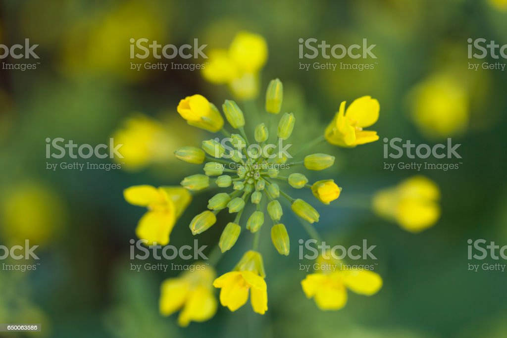Canola Flowers From Above stock photo