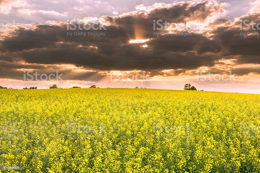 Canola flowers in the sunset stock photo