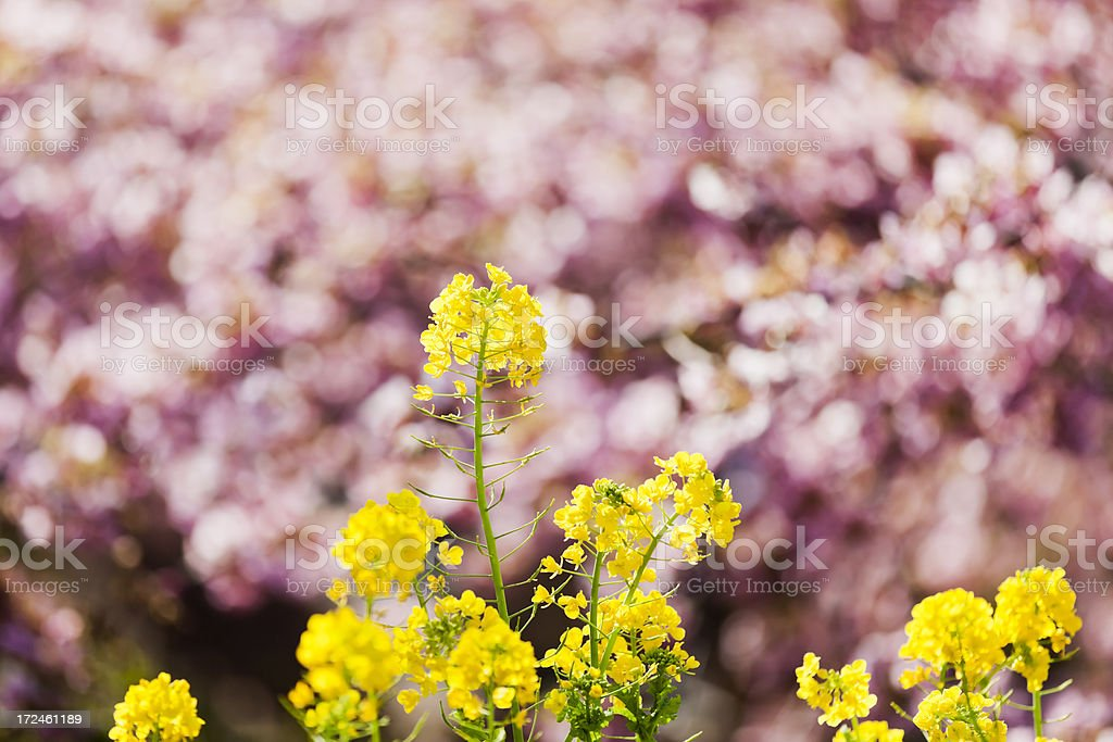 Canola Flowers royalty-free stock photo