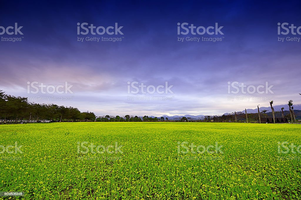 Canola flowers stock photo