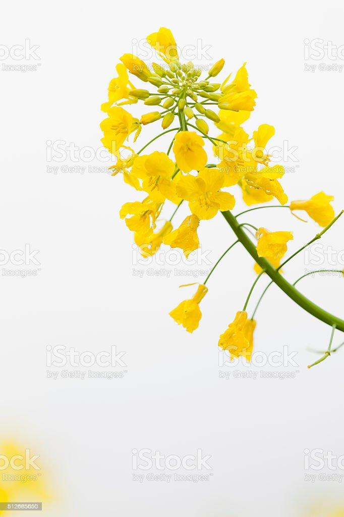 Canola Flowers stock photo