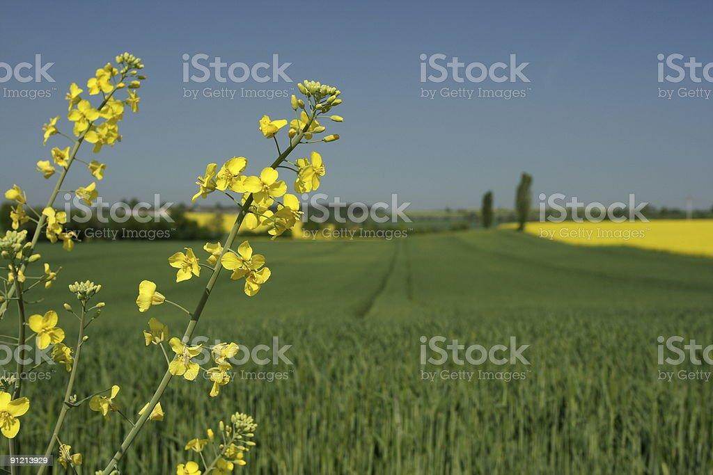 Canola Plant Single stock photo