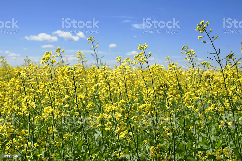 Canola plants touching the sky stock photo