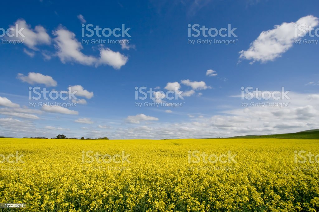 Canola / Rape Seed Field royalty-free stock photo
