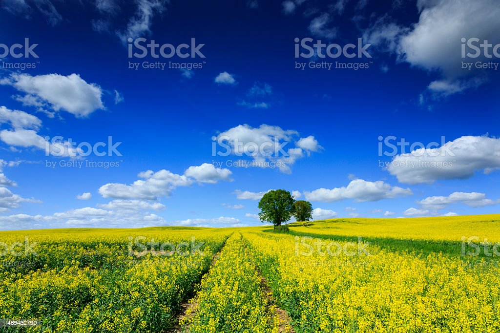 Canola Rapeseed Field Road to Trees Landscape stock photo
