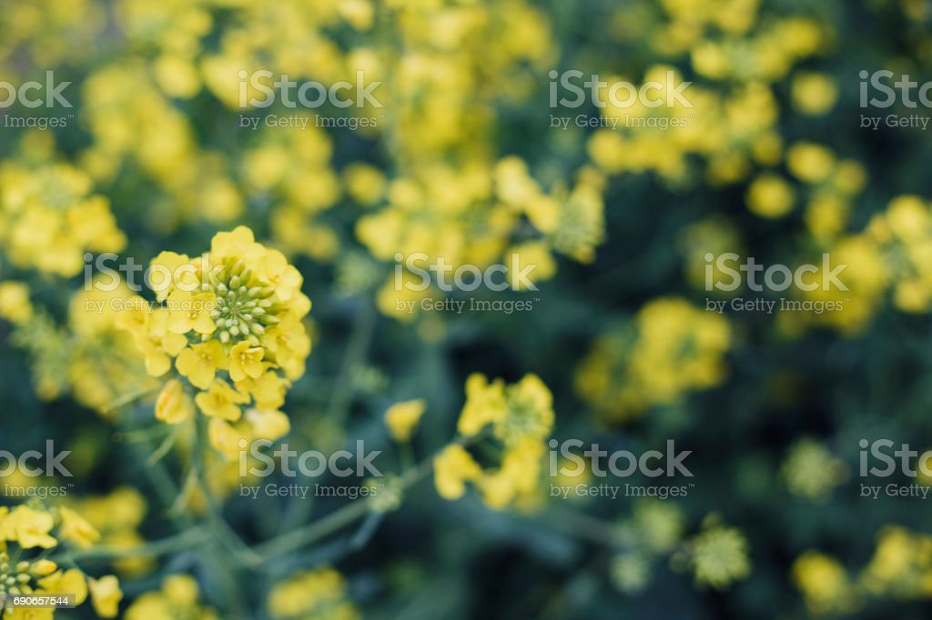 Canola Rapeseed Flowers stock photo