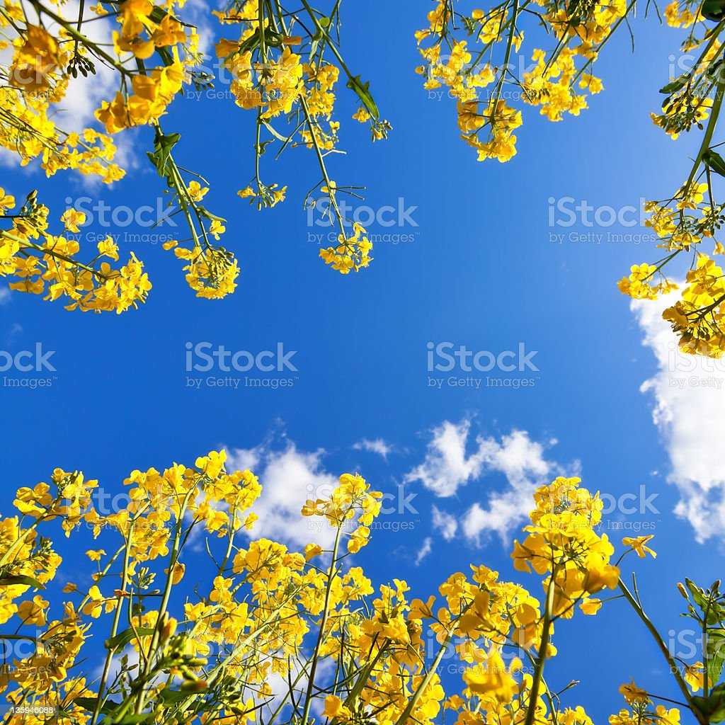 Canola Sky royalty-free stock photo