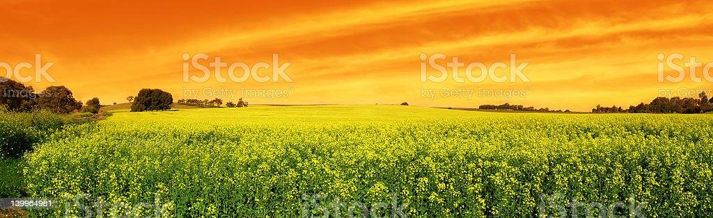 Canola Sunset Panoramic royalty-free stock photo