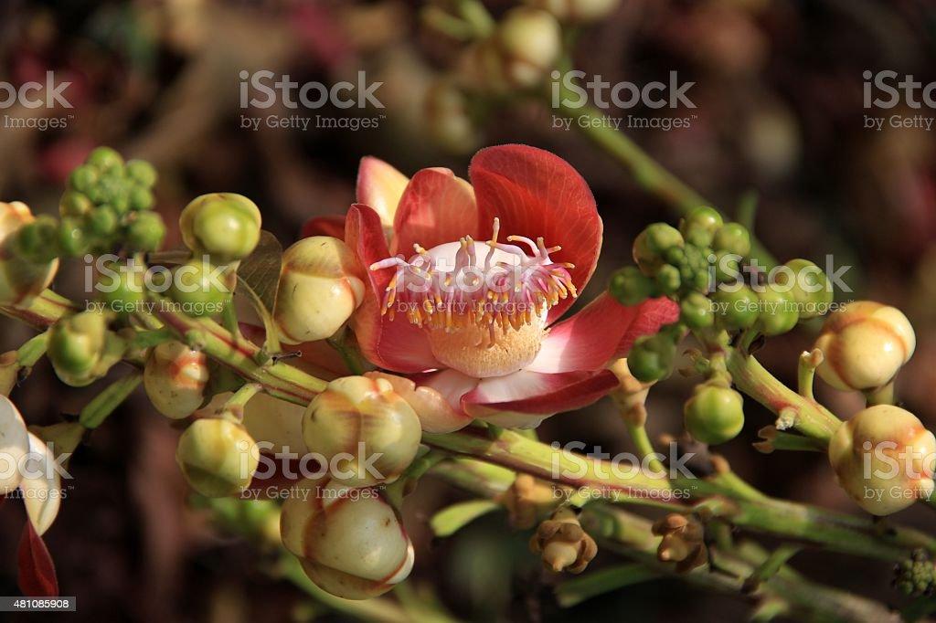Canonball flower : Couroupita guianensis stock photo