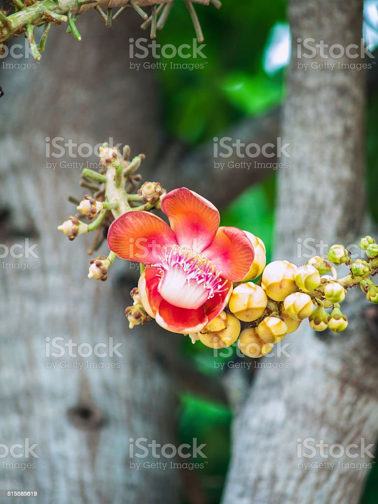 Canonball flower in nature stock photo