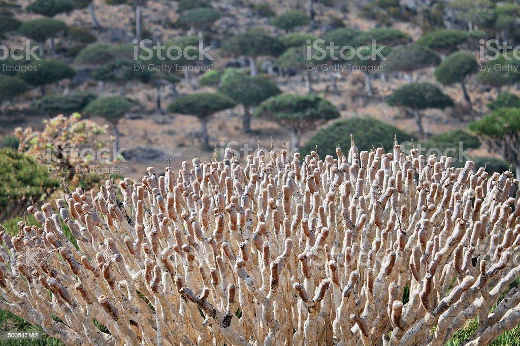 Canopy of dead dragon tree - Dracaena cinnabari stock photo