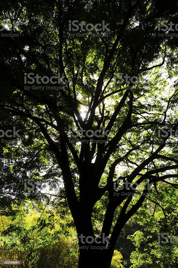 Canopy of large trees on Maui, Hawaii, USA stock photo