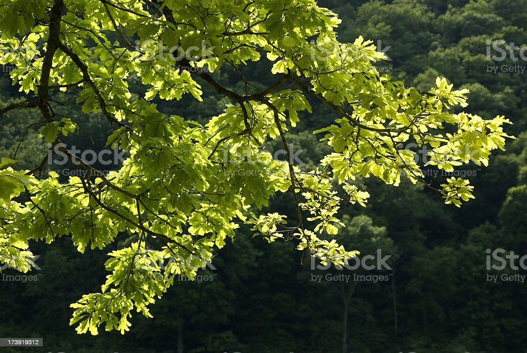 Canopy of Oak Branches royalty-free stock photo