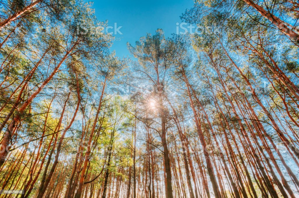 Canopy Of Pines Trees. Upper Branches Of Woods In Coniferous Forest. Low Angle View. Summer Pinewood, Bottom Wide Angle View Of Tall Thin Evergreen Pines, Blue Sky Background. stock photo