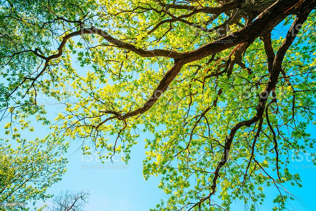 Canopy Of Tall Oak Tree with Fresh Foliage. Spring Summer. stock photo