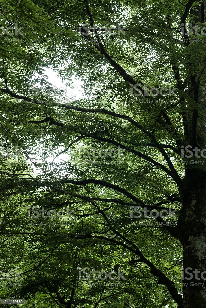 cansiglio forest, big beech tree stock photo