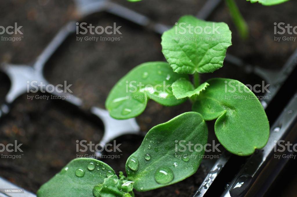 Cantaloup Seedlings stock photo