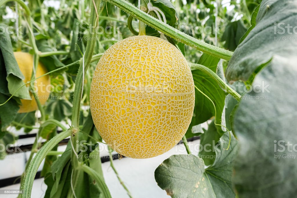 cantaloupe growing in greenhouse stock photo