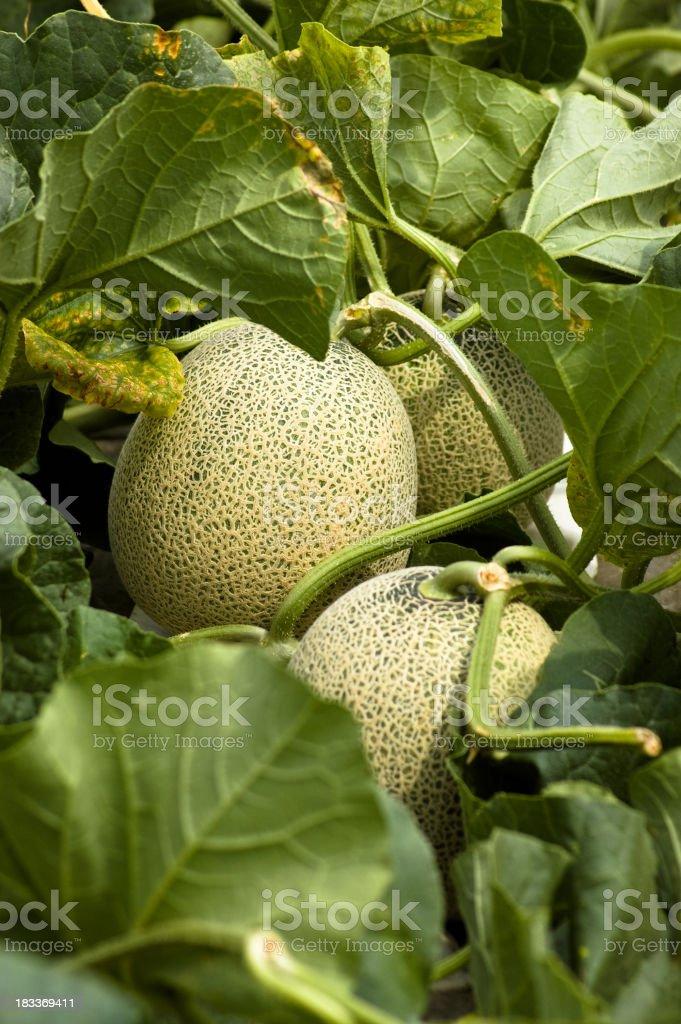 Cantaloupe melon growth stock photo