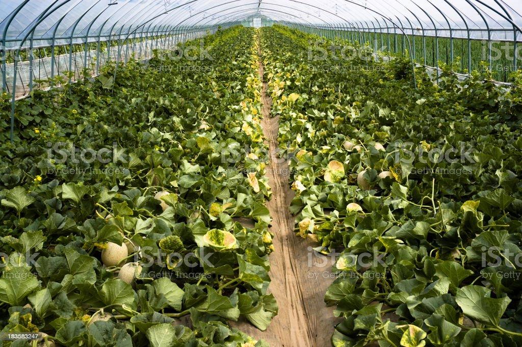 Cantaloupe melon in greenhouse stock photo