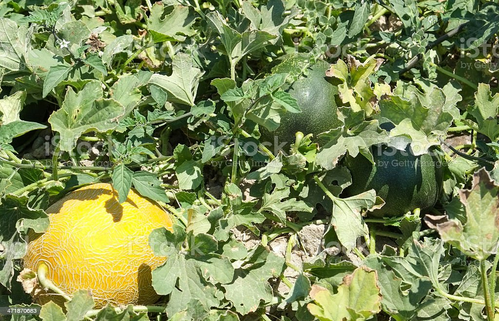 Cantaloupe melons growing in a field royalty-free stock photo