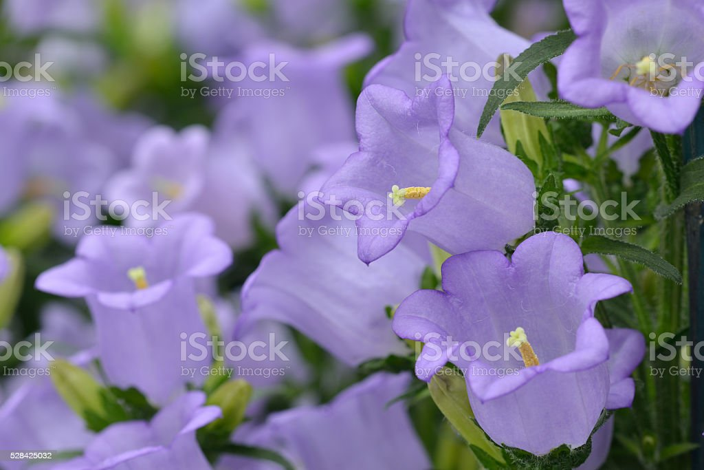 Canterbury Bells stock photo