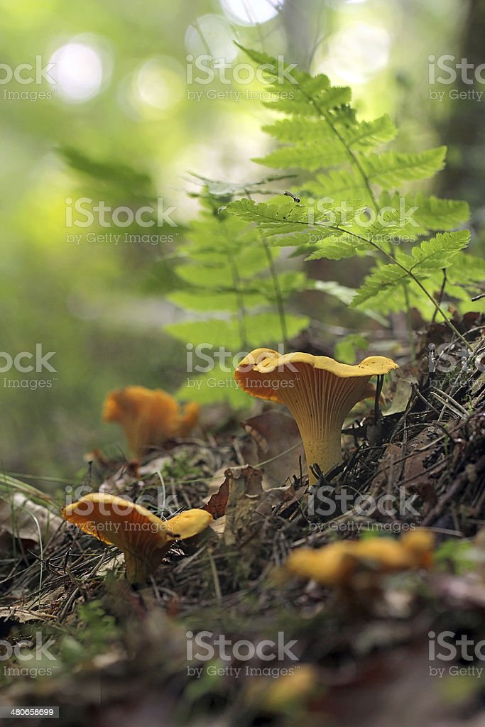 Cantharellus cibarius, commonly known as the chanterelle, golden chanterelle or girolle stock photo