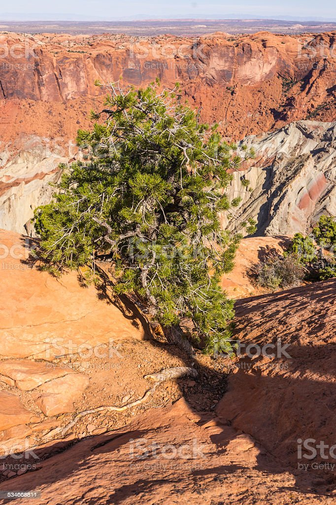 Canyonlands National Park. Pinyon pine and Upheaval Dome stock photo