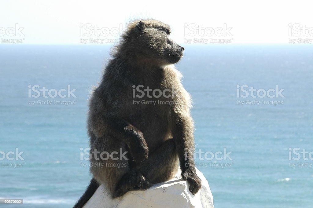 Cape baboon royalty-free stock photo
