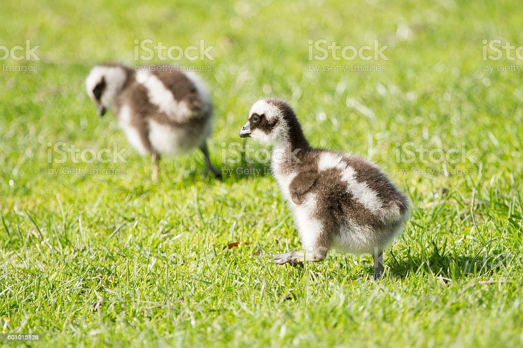 Cape Barren Goose stock photo