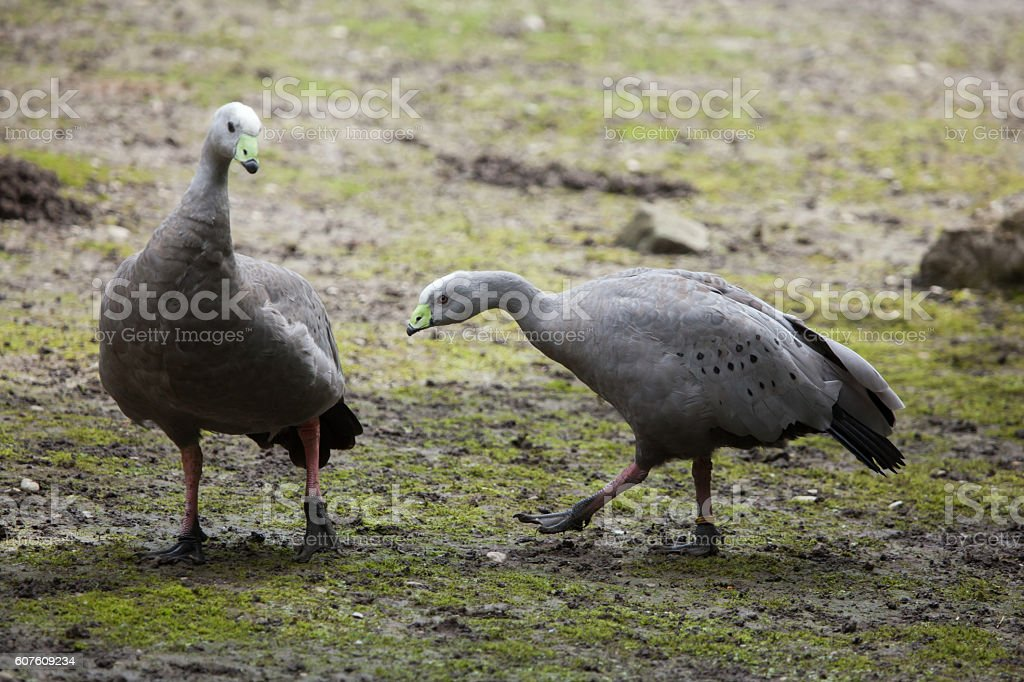 Cape barren goose (Cereopsis novaehollandiae). stock photo