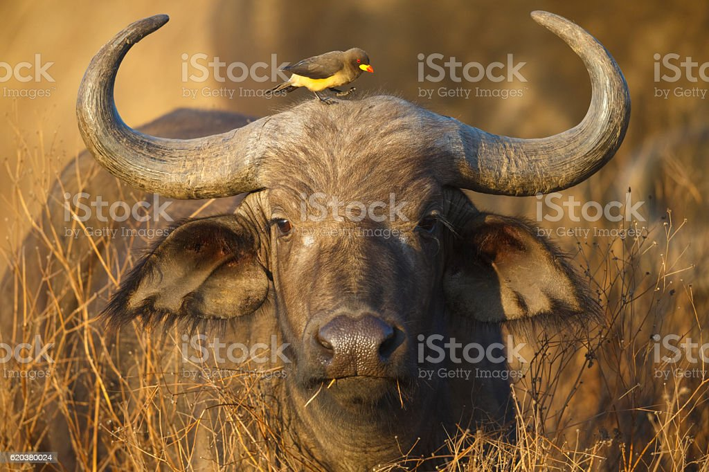 Cape Buffalo and Yellow Billed Oxpecker, Ngorongoro Crater, Tanzania Africa stock photo