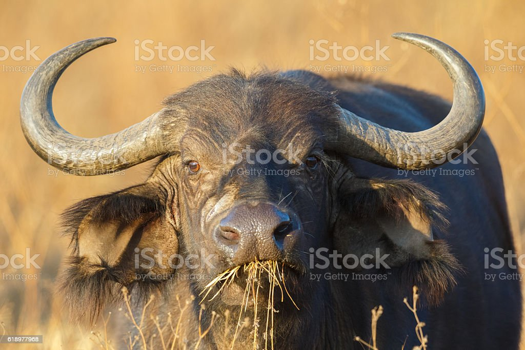 Cape Buffalo at Ngorongoro Crater, Tanzania Africa stock photo