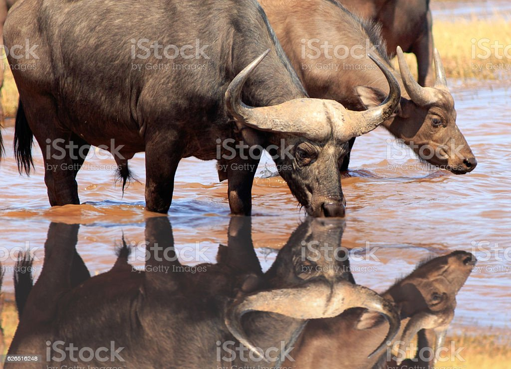 Cape Buffalo drinking with reflection stock photo