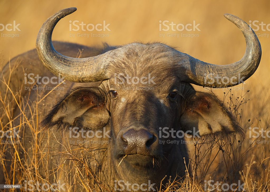 Cape Buffalo Grazing on Savanna Grasses, Tanzania Africa stock photo