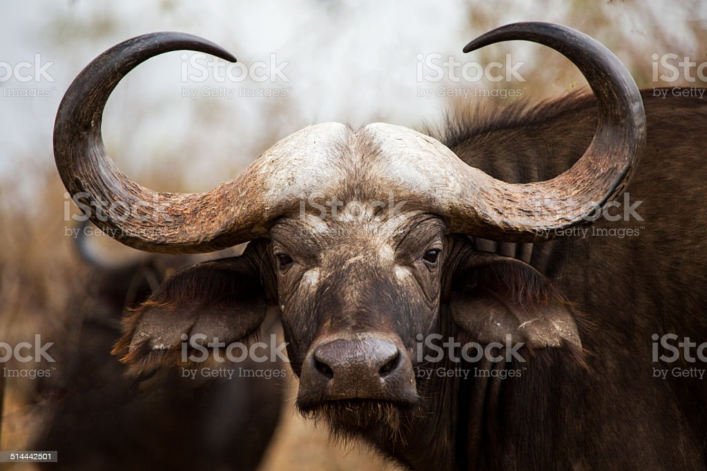 Cape Buffalo in Kruger National Park stock photo