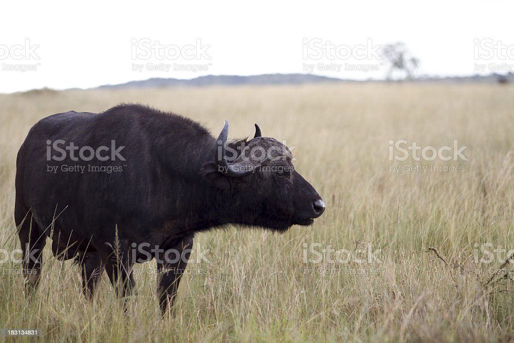 Cape Buffalo In The Mist stock photo