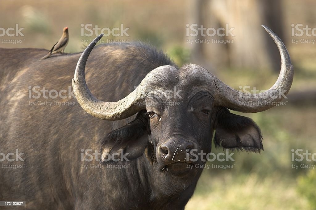 Cape Buffalo portrait from Africa stock photo