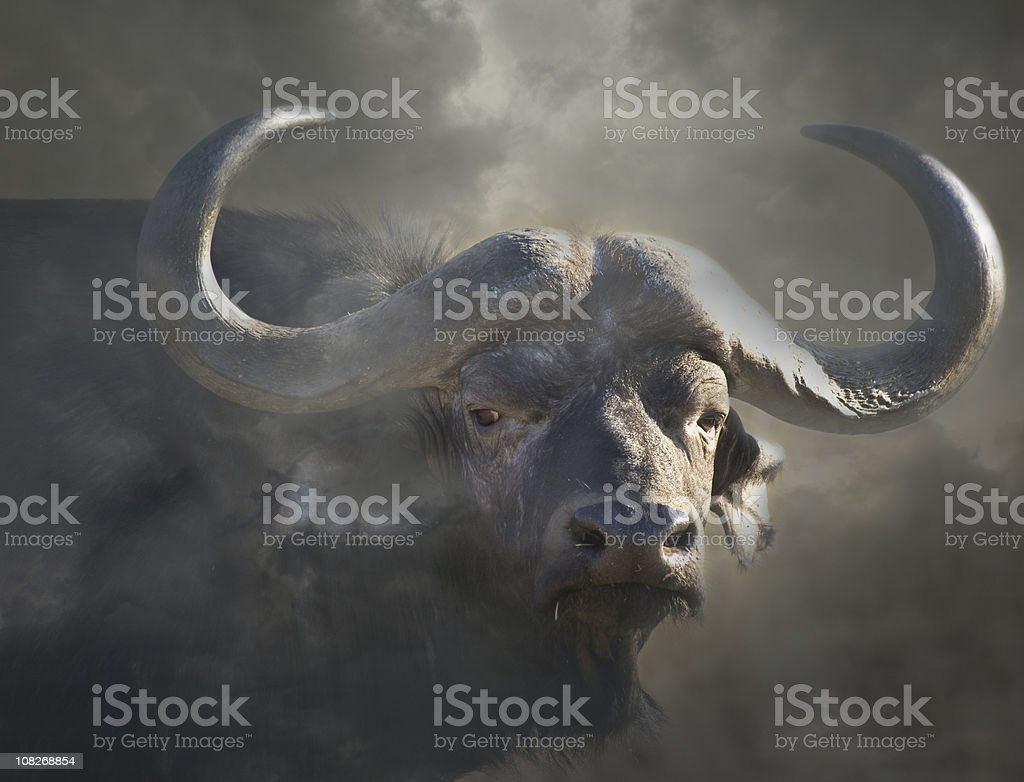 Cape buffalo syncerus caffer in mist stock photo