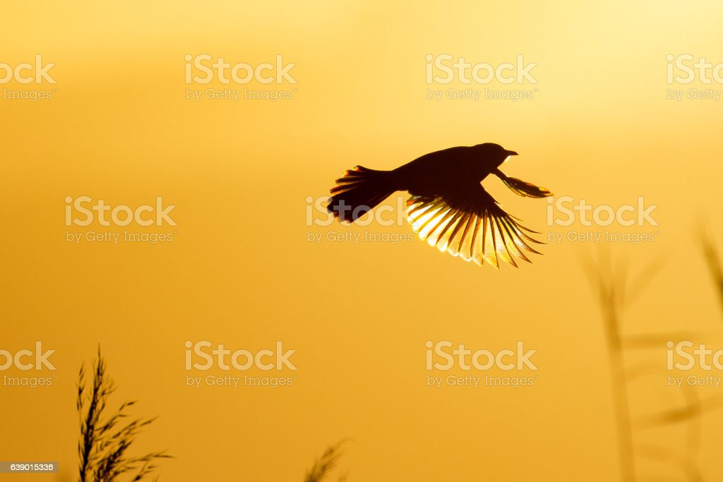 Cape bulbul in flight stock photo