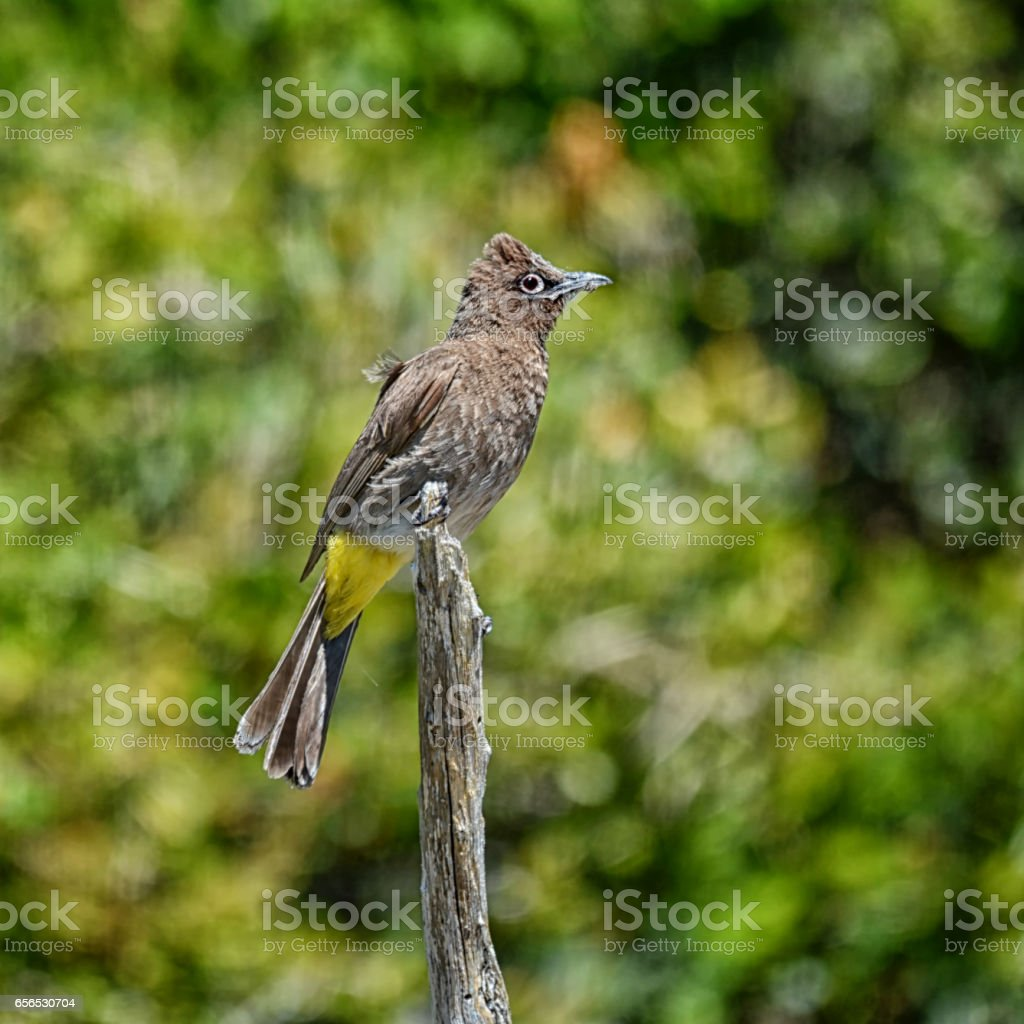 Cape Bulbul stock photo