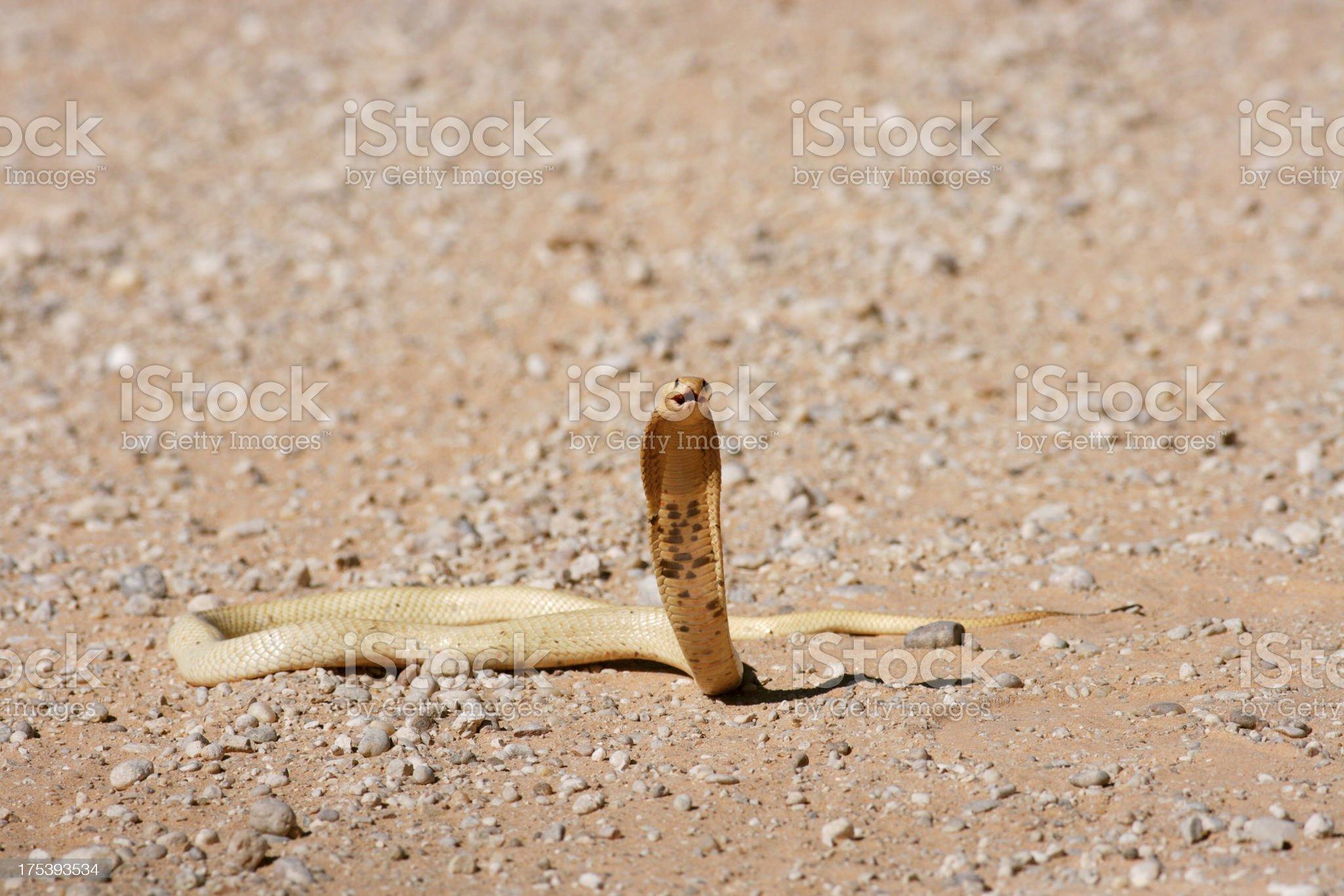 Cape cobra, naja nivea, in threat pose, with hood open royalty-free stock photo